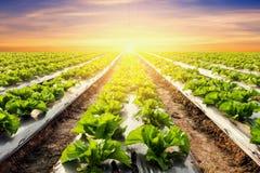Pianta della lattuga sulla verdura del campo e sul tramonto di agricoltura Immagini Stock Libere da Diritti
