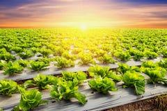 Pianta della lattuga sulla verdura del campo e tramonto e ligh di agricoltura Immagini Stock