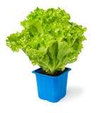 Pianta della lattuga in un POT blu Fotografia Stock Libera da Diritti