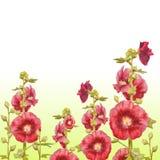 Pianta della malva isolata su fondo bianco Illustrazione botanica per il vostro invito illustrazione vettoriale
