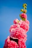 pianta della malva skyward Fotografia Stock