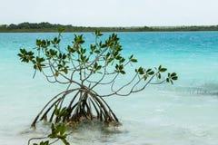 Pianta della mangrovia Immagine Stock