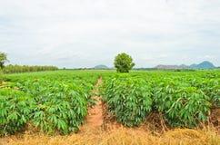 Pianta della manioca Fotografia Stock Libera da Diritti