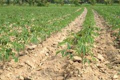 Pianta della manioca Immagine Stock Libera da Diritti