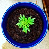 Pianta della marijuana Immagini Stock Libere da Diritti