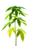 Pianta della marijuana femmina Fotografia Stock Libera da Diritti