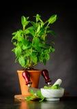 Pianta della menta con il pestello ed il mortaio che crescono in vaso Fotografia Stock