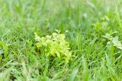Pianta della menta con le foglie verdi e profumate un giorno di molla immagini stock libere da diritti
