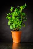 Pianta della menta in vaso delle terraglie Fotografia Stock