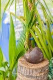 Pianta della noce di cocco che semina azienda agricola Fotografie Stock