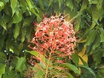 Pianta della pagoda o fiore della pagoda Immagini Stock Libere da Diritti