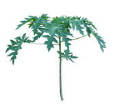 Pianta della papaia Fotografie Stock Libere da Diritti