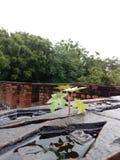 Pianta della papaia Immagini Stock