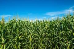 Pianta della piantagione del campo di mais Fotografia Stock Libera da Diritti