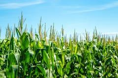 Pianta della piantagione del campo di mais Immagine Stock Libera da Diritti