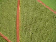 Pianta della piantagione del campo di mais Immagini Stock Libere da Diritti
