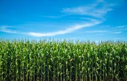 Pianta della piantagione del campo di mais Fotografia Stock