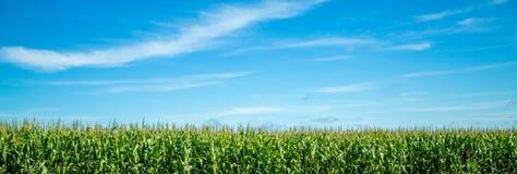 Pianta della piantagione del campo di mais Fotografie Stock
