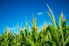 Pianta della piantagione del campo di mais Fotografie Stock Libere da Diritti