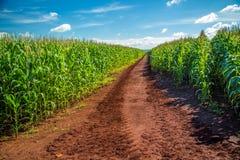 Pianta della piantagione del campo di mais Immagini Stock