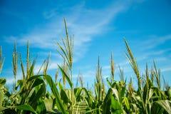 Pianta della piantagione del campo di mais Immagine Stock