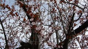Pianta della prugna in fioritura video d archivio