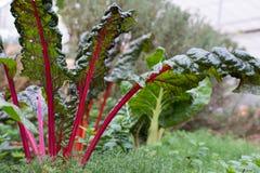 pianta della radice della barbabietola che cresce nell'orto coltivazione del suolo a Fotografia Stock