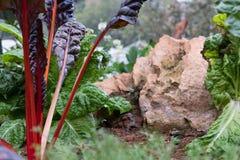 pianta della radice della barbabietola che cresce nell'orto coltivazione del suolo a Fotografie Stock Libere da Diritti