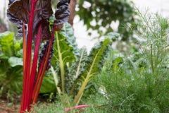 pianta della radice della barbabietola che cresce nell'orto coltivazione del suolo a Immagine Stock Libera da Diritti