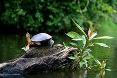 Pianta della tartaruga Fotografie Stock Libere da Diritti