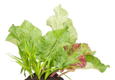 Pianta della verdura del rabarbaro di giardino Immagine Stock Libera da Diritti