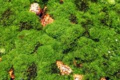 Pianta delle alghe Fotografia Stock Libera da Diritti