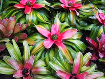 Pianta delle bromeliaceae Fotografia Stock Libera da Diritti
