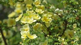 Pianta delle rose bianche stock footage