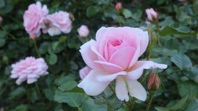 Pianta delle rose bianche video d archivio