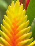 pianta dello zenzero tropicale Fotografia Stock Libera da Diritti