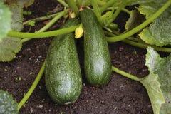 Pianta dello zucchino Fotografia Stock