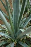 Pianta di agave tequilana Immagine Stock