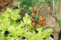 Pianta di agricoltura dei pomodori Fotografie Stock Libere da Diritti