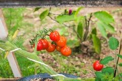 Pianta di agricoltura dei pomodori Immagine Stock Libera da Diritti