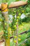 Pianta di agricoltura dei pomodori Fotografia Stock