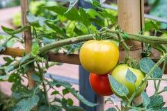Pianta di agricoltura dei pomodori Fotografie Stock