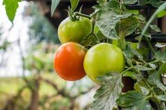 Pianta di agricoltura dei pomodori Immagini Stock Libere da Diritti