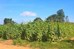 Pianta di agricoltura del cetriolo Immagini Stock Libere da Diritti