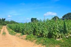 Pianta di agricoltura del cetriolo Fotografia Stock Libera da Diritti