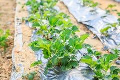 Pianta di agricoltura della fragola Fotografie Stock