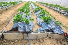 Pianta di agricoltura della fragola Fotografia Stock