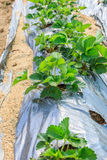 Pianta di agricoltura della fragola Immagini Stock Libere da Diritti