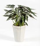 Pianta di Alocasia sul vaso bianco isolato su bianco Fotografia Stock