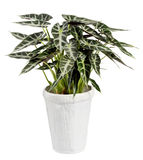 Pianta di Alocasia sul vaso bianco isolato su bianco Fotografie Stock